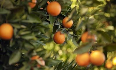 Λακωνία: Είχαν κλέψει πάνω από 38 τόνους … πορτοκάλια οι 4 δράστες!