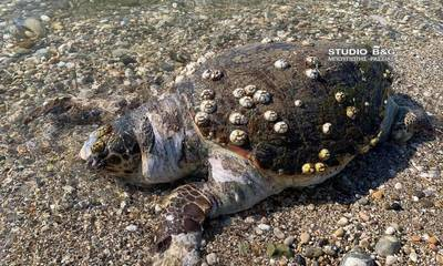 Αργολίδα: Δύο θαλάσσιες χελώνες εντοπίστηκαν νεκρές στην παραλία Νέας Κίου