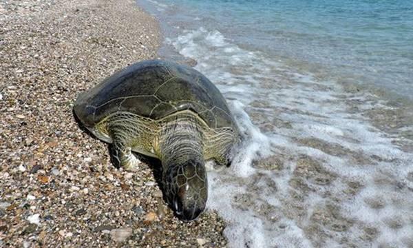 Νεκρή πρασινοχελώνα σε παραλία της Νεάπολης Λακωνίας