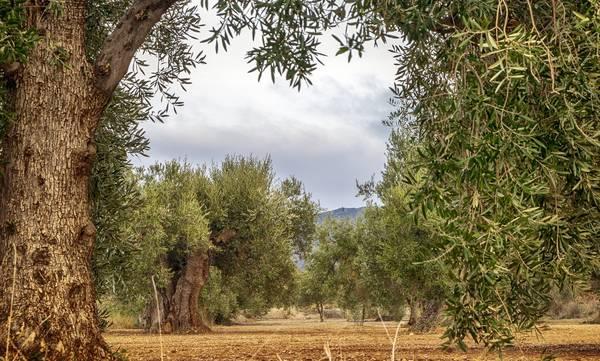 Σήμερα η πληρωμή των 70 ευρώ ανά στρέμμα προς τους παραγωγούς ελιάς Kαλαμών