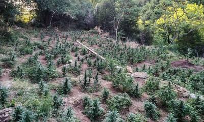 Ηλεία: Φυτεία μαμούθ με 4.325 δενδρύλλια κάνναβης εντόπισε η ΕΛ.ΑΣ. (photos)