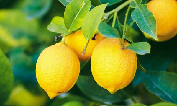 Οι μεταβολές του καιρού μειώνουν τη παραγωγή λεμονιού