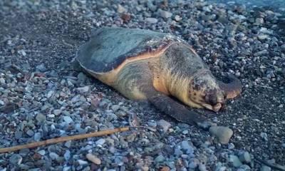 Νεκρή μια ακόμα θαλάσσια χελώνα στη Λακωνία
