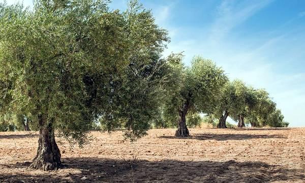 Παγετοί και Καύσωνες: Tι συμβαίνει με την παραγωγή ελιάς σε Πελοπόννησο, Κρήτη, και Στερεά;