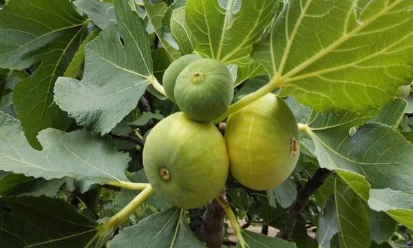 Αναγγελία ζημιάς από καύσωνα σε καλλιέργειες του Δήμου Μεσσήνης