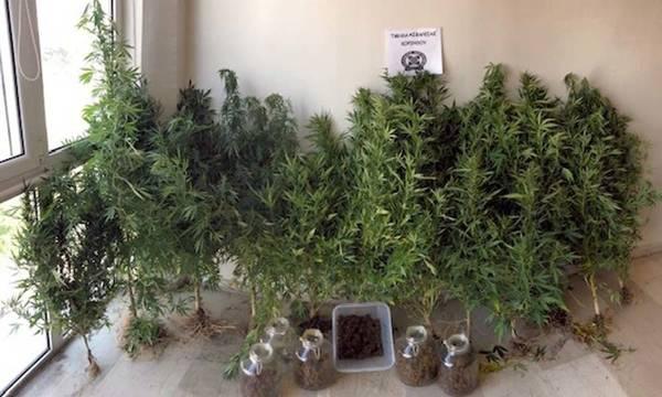 Συνελήφθη για ναρκωτικά στην Κορινθία με 12 δενδρύλλια