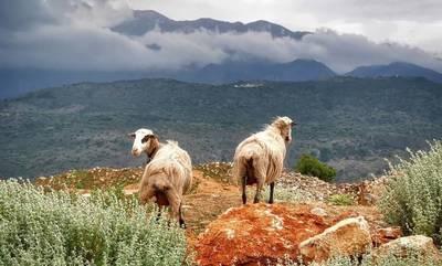 Ο Τατούλης ζητά έκτακτη σύγκληση του ΠεΣυΠ και προστασία των Κτηνοτρόφων