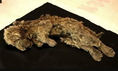 «Η κοιμώμενη Σπάρτη» στη Σιβηρία- Άριστα διατηρημένο λιοντάρι ηλικίας 28.000 χρόνων!