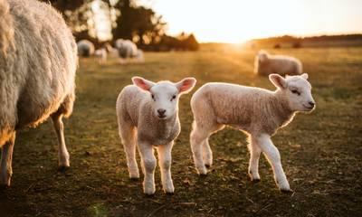Ξεκίνησε η διανομή ζωοτροφών σε Μάνη, Αρκαδία και Μεσσηνία