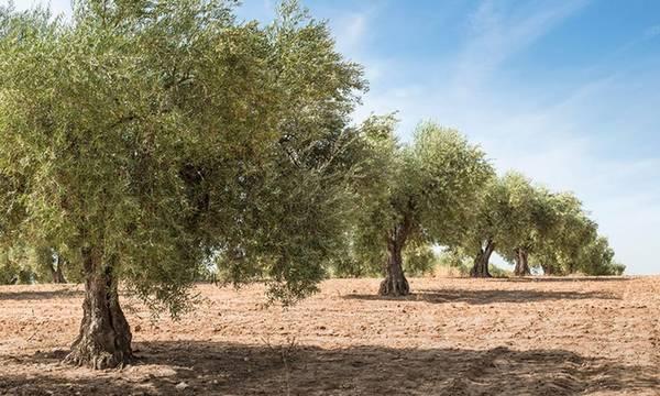 Χωρίς δάκο αλλά με στρεσαρισμένα ελαιόδενδρα σε Μεσσηνία και Λακωνία!