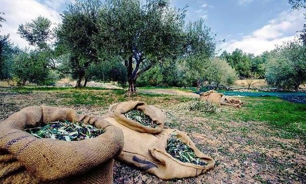 Μειωμένη αναμένεται η παραγωγή στην ελιά κατά 50% μ.ο. – Στα 4.00€ τα αγουρέλαια!
