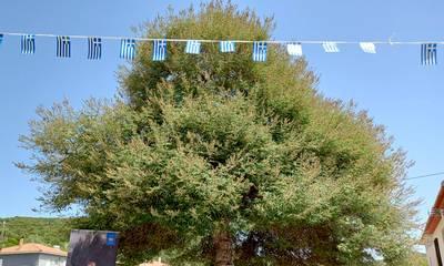 Πύλος: Πρώτη επετειακή εκδήλωση σήμανσης Δέντρων Ελευθερίας Πελοποννήσου