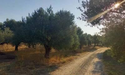 Πωλείται ελαιόκτημα 21,5 στρέμματα στον οικισμό Λευκόχωμα Σπάρτης