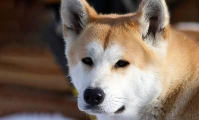 Χάτσικο: Η ιστορία του πιο πιστού σκύλου που περίμενε το αφεντικό του μέχρι το τέλος της ζωής του