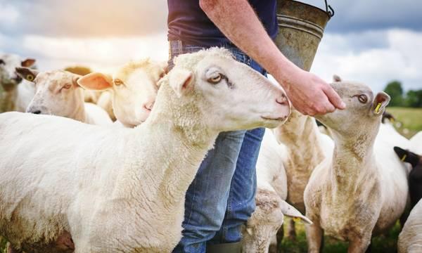 Δωρεά ζωοτροφών στους πυρόπληκτους κτηνοτρόφους από τους Όμοιους Μάνης