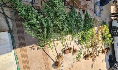 Κορινθία: Φυτεία με 22 δενδρύλλια χασίς  – Μια σύλληψη