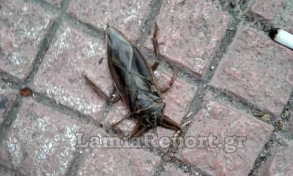 «Λιθόκερος»: Το μεγαλύτερο δηλητηριώδες υδρόβιο έντομο στο κόσμο εμφανίστηκε ξανά στη Λαμία