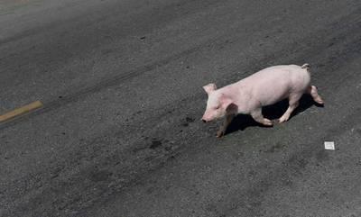 Γουρούνι βγήκε στην Εθνική Οδό Πατρών - Πύργου (photos)