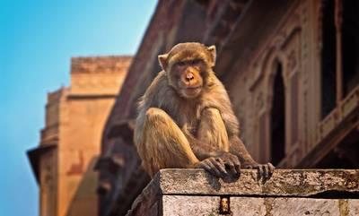 Μαϊμού σκότωσε 30χρονο άνδρα πετώντας τούβλο από το 2ο όροφο