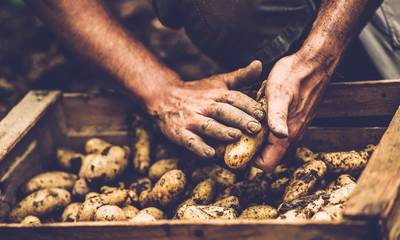 Αντιμέτωποι με το πρόβλημα του σιδηροσκώληκα οι παραγωγοί πατάτας στην Αρκαδία